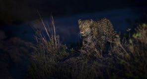 走在黑暗和狩猎中的孤立豹子食物的本质上 免版税图库摄影