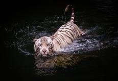 走在水中的白色老虎 免版税库存图片