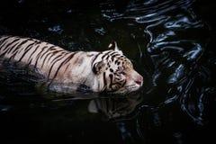 走在水中的白色老虎 库存照片