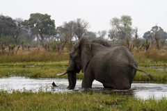 走在水中的非洲大象 库存图片
