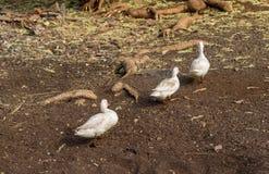 走在仓前空地的三只肮脏的小的鸭子在游泳以后 免版税库存图片