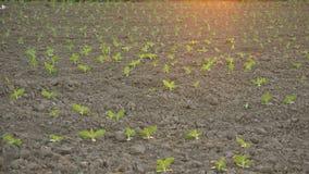 走在年轻大豆新芽的女性农夫培养了审查和控制植物的成长农业领域 股票录像