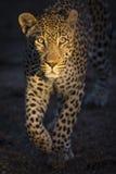 走在黑暗狩猎的豹子画象 库存图片