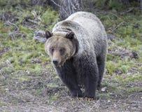 走在从森林的草的年轻北美灰熊 免版税图库摄影