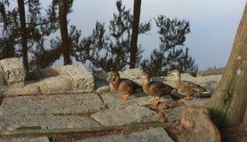 走在水的边缘的三只棕色鸭子 免版税库存图片