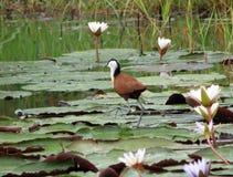 走在水的非洲jacana或耶稣鸟 免版税库存照片