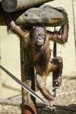 走在绳索的Bornean Orangutam婴儿/孩子 免版税库存图片