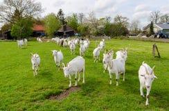 走在绿色牧场地的白色山羊 免版税库存图片