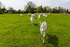 走在绿色牧场地的白色山羊 免版税图库摄影