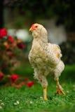 走在绿色草坪的呈杂色的鸡(公鸡) 免版税图库摄影