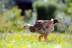走在绿色草坪的呈杂色的鸡 库存图片