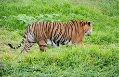 走在绿草中的孟加拉老虎 库存图片