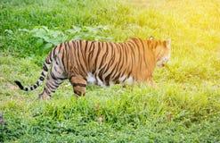 走在绿草中的孟加拉老虎 图库摄影