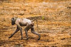 走在Amboseli同水准大草原的病和无毛的狒狒  图库摄影