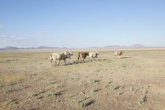 牛在沙漠 免版税图库摄影