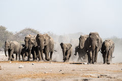 走在Etosha国家公园的非洲大象牧群  免版税图库摄影