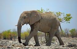 走在Etosha的一头大雄象 库存图片