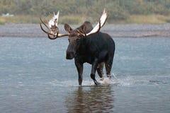 走在Fishercap湖附近岸的成人Shiras公牛麋许多的冰川国家公园的冰川地区在蒙大拿美国 库存照片