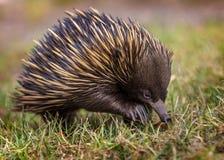 走在g的一短钩形的针鼹单孔目哺乳动物类aculeatus 免版税库存图片