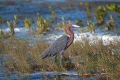 走在Isla布朗卡中坎昆湿软的浅潮汐水域的带红色白鹭  库存照片