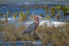 走在Isla布朗卡中坎昆湿软的浅潮汐水域的带红色白鹭  免版税库存图片
