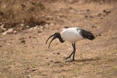 走在Ngorongoro火山口的神圣的朱鹭 库存图片