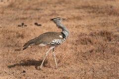 走在Ngorongoro火山口的Kori鸨鸟 图库摄影