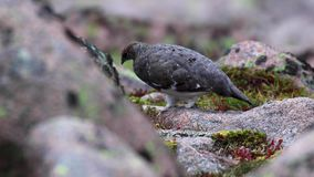 走在scree中的女性雷鸟雷鸟属muta在cairngorms国家公园,苏格兰的8月下旬 股票录像