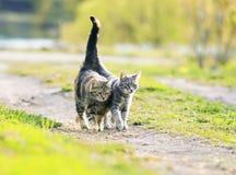 走在sprin的水多的晴朗的草甸附近的两个恋人猫 库存照片