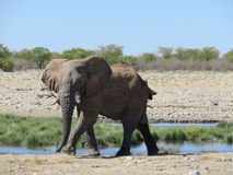 走在Waterhole, Etosha,纳米比亚的大象 免版税库存照片