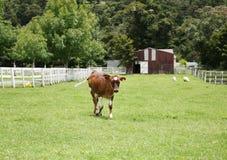 走小牛的小牧场  库存图片