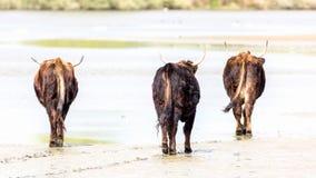 走开在湿沙子的野生牛 免版税图库摄影