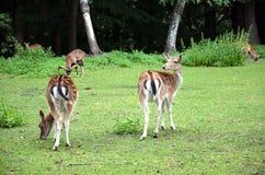 走开在草摄影的两头小鹿 免版税图库摄影