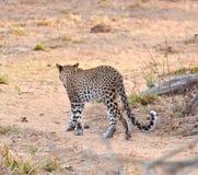走开的豹子 图库摄影