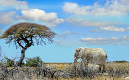 走往一棵孤零零树的一头孤立大象在Etosha 图库摄影