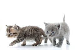 走往一起的二只小猫。 工作室射击。 在 库存照片