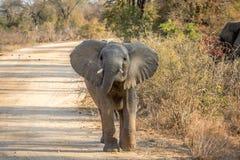 走往照相机的一头年轻大象 免版税库存照片