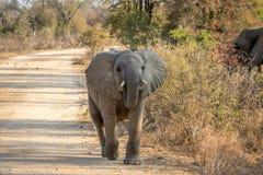 走往照相机的一头年轻大象 库存照片