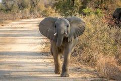 走往照相机的一头年轻大象 库存图片