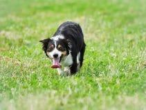 走往照相机的博德牧羊犬狗 免版税库存图片