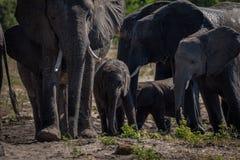 走往照相机的大象牧群特写镜头 库存照片