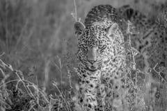 走往照相机的幼小豹子 免版税库存照片