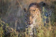 走往照相机的幼小豹子 免版税库存图片
