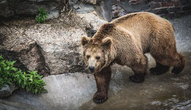走往照相机的熊 免版税图库摄影