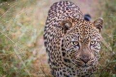 走往照相机的豹子 免版税库存照片