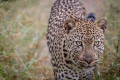 走往照相机的豹子 图库摄影