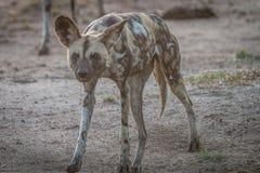 走往照相机的非洲豺狗 图库摄影