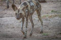 走往照相机的非洲豺狗 免版税库存图片