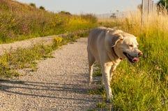 走拉布拉多的狗在阳光下 库存图片