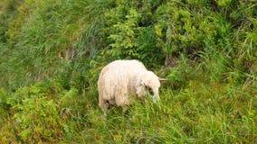 走横跨农田的绵羊在新西兰南岛 影视素材